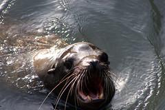 Sea lion (LBena) Tags: sealion wildlife sanfranciscobay