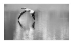 Spread Your Wings (Christina's World :) Tags: 5210 pelican blackandwhite monochrome bw textures topaz largebird waterscene lake santee flying reflection bird nature naturepreserve california dramatic mood minimalism morning outdoors sandiego scenic touristattraction unitedstates usa water quote fragiletouch exhibition kurtpeiser minimal