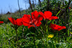 R.Menashe--033-20200216 (Miki Badt) Tags: flowers naturelandscape northerndistrict israel