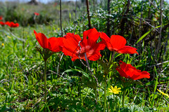 R.Menashe--032-20200216 (Miki Badt) Tags: flowers naturelandscape northerndistrict israel