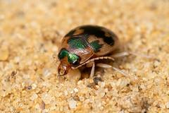 Omophron limbatum (a ground beetle) - Carabidae - Burgh Castle, Norfolk, UK-3 (C. Kirby-Lambert) Tags: burghcastle carabidae coleoptera july2019 norfolk omophron omophronlimbatum sandpit uk insect