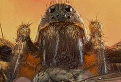"""The Lunch"" Lycosidae.. (Raúl García Navarro) Tags:"