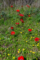R.Menashe--023-20200216 (Miki Badt) Tags: flowers naturelandscape northerndistrict israel