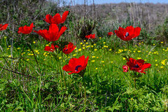 R.Menashe--018-20200216 (Miki Badt) Tags: flowers naturelandscape northerndistrict israel