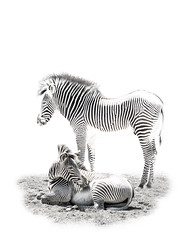Just Hanging' Out (bethrosengard) Tags: animals chicago places zebras