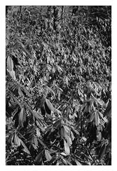 leafs (Joe Jesus) Tags: film bw hc110 homedeveloping blackandwhite nikon nikonf2 50mm ilford hp5