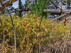 Trail To Black Hill 04 (davidseibold) Tags: america california morrobaystatepark rattlesnakegrass sanluisobispocounty usa unitedstates jfflickr photosbydavid plant postedonflickr