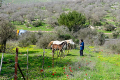 R.Menashe--001-20200216 (Miki Badt) Tags: flowers naturelandscape northerndistrict israel