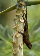 Rain Forest P.R. 02.2020-6 (Kitoon) Tags: puertorico vacation rainforest lizard