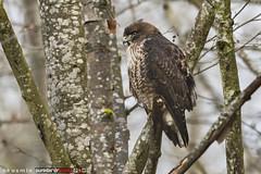 red-tailed hawk (buteo jamaicensis) (punkbirdr) Tags: kusmin nikon birds birding d500 500mmedafsif4 punkbirdrphoto redtailedhawk buteojamaicensis