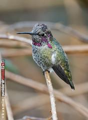 anna's hummingbird (calypte anna) (punkbirdr) Tags: kusmin nikon birds birding d500 500mmedafsif4 punkbirdrphoto annashummingbird calypteanna