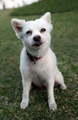 pet dog (_gem_) Tags: philippines pet pets animal animals japanesespitz dog canine
