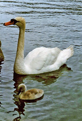 Swan & Cygnet at St. Mawes, 3rd July 1997 (Linda 2409) Tags: bird baby swan