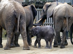Zu Besuch bei Kibali / A visit to Kibali (rudi_valtiner) Tags: kibali afrikanischerelefant elefant elephant africanelephant jungtier baby wien schönbrunn tiergarten zoo vienna österreich austria autriche tier animal mojo ie