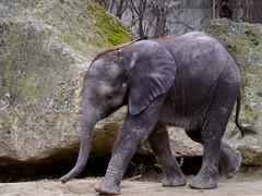 Zu Besuch bei Kibali / A visit to Kibali (rudi_valtiner) Tags: kibali afrikanischerelefant elefant elephant africanelephant jungtier baby wien schönbrunn tiergarten zoo vienna österreich austria autriche tier animal mojo
