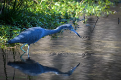 Edward Ball Wakulla Springs State Park Little Blue Heron 01-14-2020 (Jerry's Wild Life) Tags: heron florida littleblueheron egrettacaerulea wadingbird littleblue edwardballwakullaspringsstatepark edwardballwakullaspringsstateparkboattour wadingbirds boattour lbhe