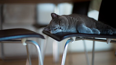 Under the dining table (h329) Tags: 50mm chair f095 hana noctilux cat leica m