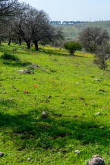 R.Menashe--038-20200216 (Miki Badt) Tags: flowers naturelandscape northerndistrict israel
