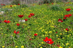 R.Menashe--026-20200216 (Miki Badt) Tags: flowers naturelandscape northerndistrict israel