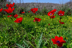 R.Menashe--017-20200216 (Miki Badt) Tags: flowers naturelandscape northerndistrict israel