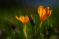 20200215_727c (novofotoo) Tags: botanischergarten crocusflavus goldkrokus natur nature pflanzen plant botanicalgarden yellowcrocus