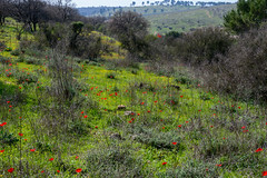 R.Menashe--036-20200216 (Miki Badt) Tags: flowers naturelandscape northerndistrict israel