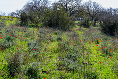 R.Menashe--035-20200216 (Miki Badt) Tags: flowers naturelandscape northerndistrict israel