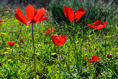 R.Menashe--030-20200216 (Miki Badt) Tags: flowers naturelandscape northerndistrict israel