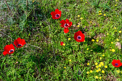 R.Menashe--027-20200216 (Miki Badt) Tags: flowers naturelandscape northerndistrict israel