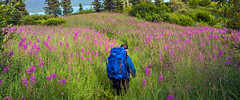 Fields of Fireweed (Tom Fenske Photography) Tags: alaska hiking backpacking remote mountain wilderness wild flowers fireweed explore hiker