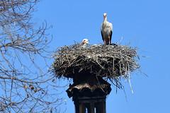 White stork nest (supersky77) Tags: piemonte racconigi centrocicogne birding birdwatching