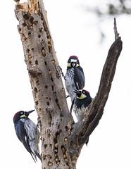Acorn Woodpecker (DustyLouis) Tags: bird los angeles griffith wildlife