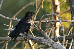 Raven (DustyLouis) Tags: bird los angeles griffith wildlife