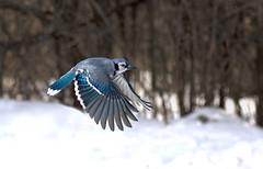 Blue Jay in flight  ... (Explored) (Rudy in Ottawa) Tags:
