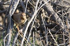 California Towhee (DustyLouis) Tags: bird los angeles griffith wildlife