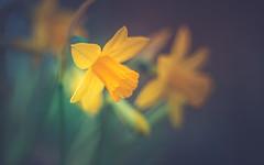 Daffodils (Dhina A) Tags: sony a7rii ilce7rm2 a7r2 a7r kaleinar mc 100mm f28 kaleinar100mmf28 5n m42 nikonf russian ussr soviet 6blades manualfocus bokeh lens daffodils spring flower