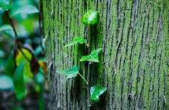 Symbiosis (Jose Rahona) Tags: arbol arboles trees plantas plants hojas leaves verde green corteza treebark bokeh textures