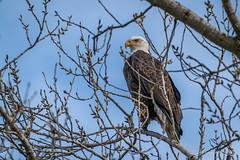 Bald Eagle (Bob Gunderson) Tags: baldeagle birds birdsofprey buttecounty california centralvalley eagles eaglesandosprey haliaeetusleucocephalus northerncalifornia