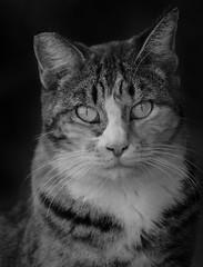 Cat (Cruzin Canines Photography) Tags: pets bakersfield animal cat feline mammal monochrom portrait california blackandwhite outdoors cute naturallight outside pet animals