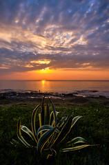 Spanish Dagger (Vest der ute) Tags: xt2 sea plants morning sunrise grass rocks landscape sky clouds fav25