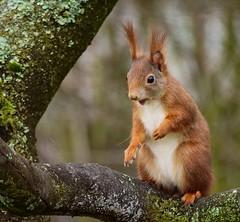 P1015366-Squirrel (Bine&Minka2007) Tags: squirrel eichhörnchen natur nature nahaufnahme germany garten g9