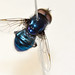 Blue hover fly for museum collection