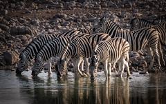 At the waterhole (Kevin Rheese) Tags: drinking zebra stripes wildlife etoshanationalpark namibia water eyecontact dazzle herd africa animal oshikotoregion