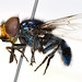 Blue hover fly