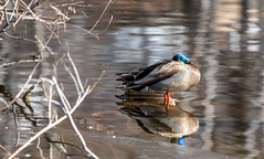 Male Mallard sleeping with reflection (Beth Rizzo) Tags: reflection reflections mallard malemallard duck ducks birdsofnewengland birdsofmassachusetts birds bird birding pond pondlife