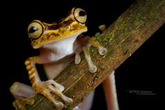 Imbabura Tree Frog Boana picturata (Matthieu Berroneau) Tags: boana picturata boanapicturata imbabura treefrog imbaburatreefrog rana arbórea colorida ranaarbóreacolorida amphibien amphibian anfibio anoura anoure frog macro nature herpéto herpeto trip 2019 equateur ecuador herp herping wildlife animal animaux sony alpha a7iii ff 24x36 full frame sonya7iii sonyalphaa7iii sonya7mk3 sonyalpha7mark3 sonyalpha7ii 7iii 7mk3 sonyilce7m3 90 28 fe f28 g oss fe90f28macrogoss sonyfesonyfe2890macrogoss objectifsony90mmf28macrofe sel90m28g