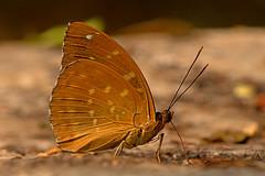Lexias pardalis - the Archduke (male) (BugsAlive) Tags: butterfly animal outdoor insects papillon mariposa 自然 farfalla schmetterling 蝴蝶 бабочка dagvlinder ผีเสื้อ conbướm macro male nature insect wildlife lepidoptera nymphalidae limenitidinae doisutheppuinp lexiaspardalis commonarchduke thailand chiangmai bugsalive nikon105mm liveinsects thailandbutterflies ผีเสื้ออ๊าชดุ๊คธรรมดา ผีเสื้อในประเทศไทย