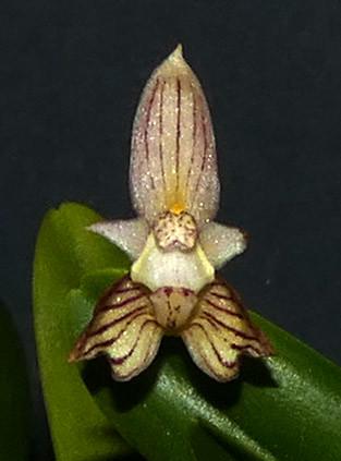 Bulbophyllum ambrosia species orchid 2-20