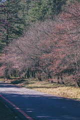 武陵農場 (aelx911) Tags: a7rii a7r2 sony gmaster fe2470mmf28gm fe2470 nature cherryblossom taiwan taichung 台灣 台中 武陵農場 櫻花季