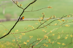 Branch Lines (jillyspoon) Tags: robin robinredbreast dof depthoffield bird harrogate harlowcarrgardens yellow shrub sony sonya7iii sony85mm